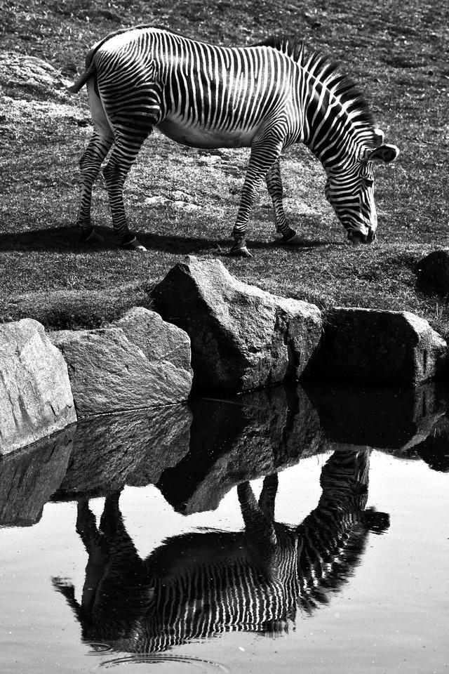 zebra monocrome edinburgh zoo