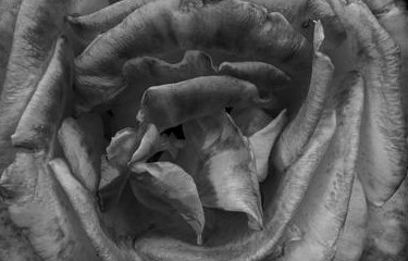 black and white roses (2)